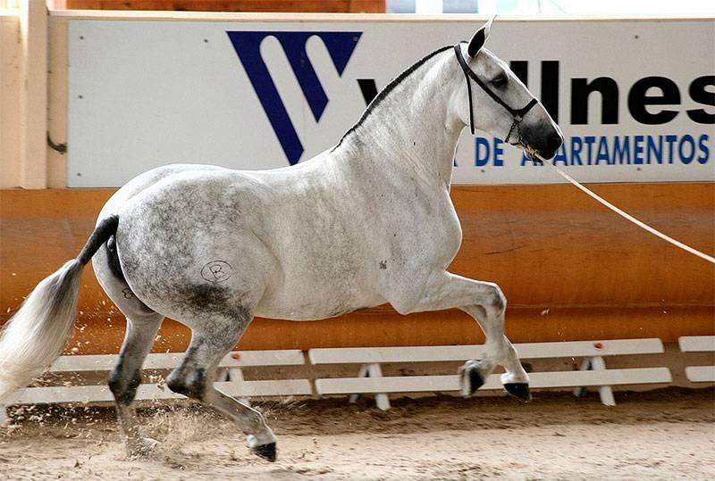 El Caballo Español (PRE)