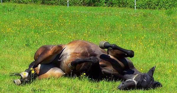 cómo duermen los caballos