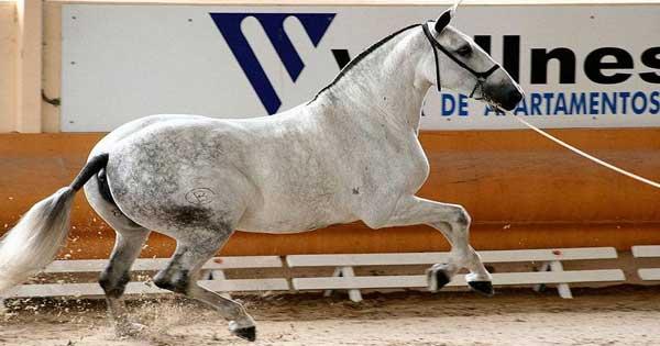 El Caballo PRE (Pura Raza Española)